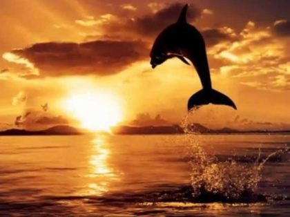 Porpoise leaping at sunset