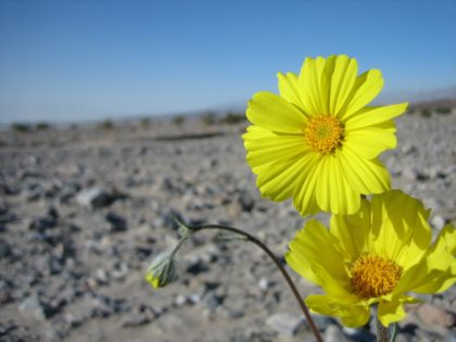 Daisys growing in the desert