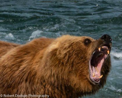 Robert Dodson's phtograph of a bear